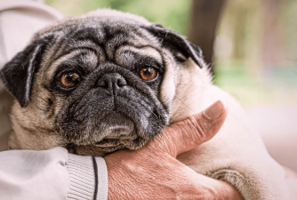 Pug Rescue - Top Places To Adopt a Pug