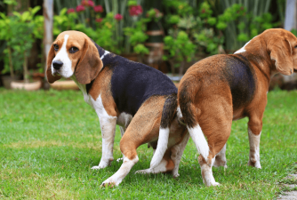 Dogs Mating - Owner's Guide