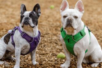 Frenchton Mixed Dog Breed Profile