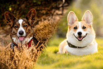 Fun Facts About Different Types of Corgis