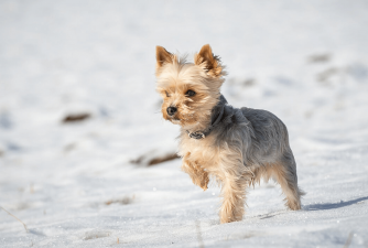 7 Interesting Fun Facts About Yorkshire Terriers