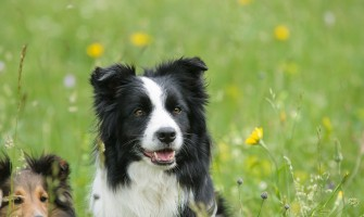 7 Interesting Facts About the Border Collie