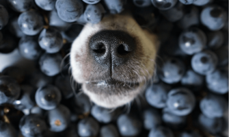 Are Blueberries Good For Dogs