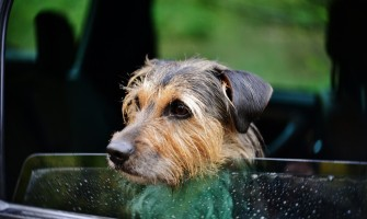 Dogs In Hot Cars: How To Save Them?