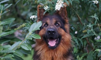 Top German Dog Breeds