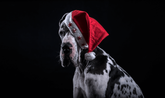 Great Dane: Fun Facts About the Apollo Dog Breed
