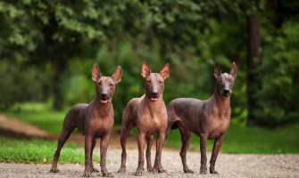 Hairless Dog Breeds - All You Need To Know