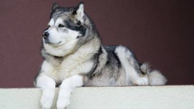 7 Things You Must Know About Alaskan Malamute