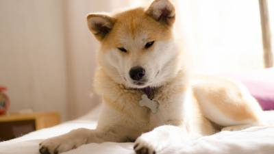 Akita Inu - What You Don't Know