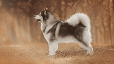 Top 10: Dogs With Curly Tails
