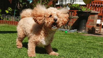 Poochon - What Owners Say About Them