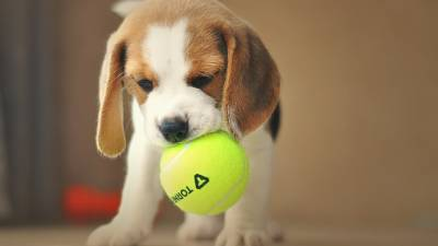 Pocket Beagle - What do Breeders Think About Them