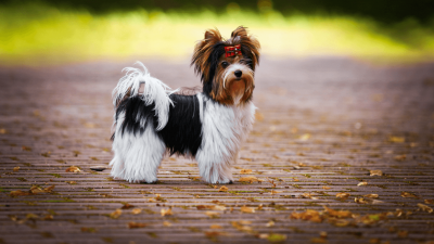 Meet The Newest AKC-Recognized Breed - The Biewer Terrier