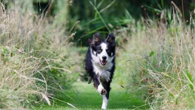 Where to Adopt Border Collie Dogs?