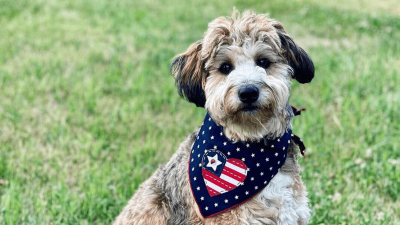 What type of pet is a Bordoodle?