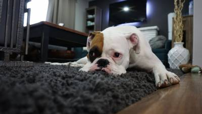 Benadryl for Dogs: Uses, Side Effects & Dosage