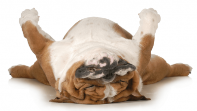 Top 10: Lazy Dog Breeds