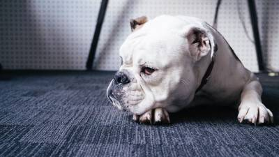 Best Bulldog Rescues in the US
