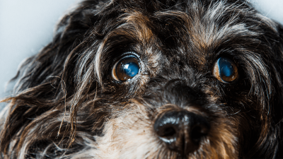 Cataracts In Dogs - Causes, Symptoms & Prevention