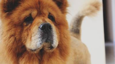 Chow Chow Official Colors