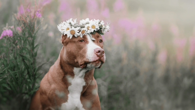 7 Fascinating Pit Bull Fun Facts