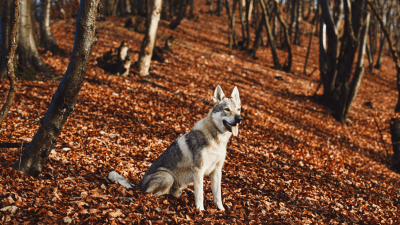 Czechoslovakian Wolfdog From A Different Perspective