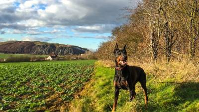 Doberman Through the Eyes of Breeder and Owner