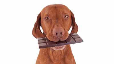 What to Do if Your Dog Eats Chocolate?