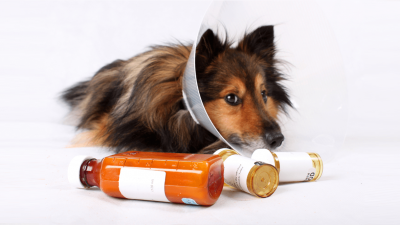 Clavamox for Dogs - Dosage & Side Effects