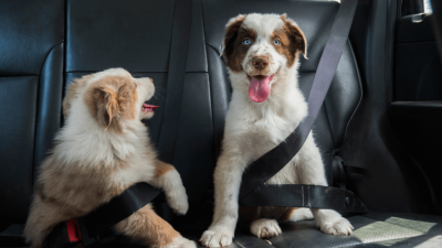 How to Choose a Dog Seat Belt