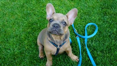 Leash training: How to Leash Train a Dog and a Puppy