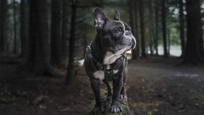 15 French Bulldog Tips from Owners
