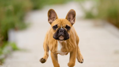 French Bulldog From A Different Perspective