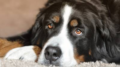 Glaucoma in Dogs: Causes, Symptoms & Treatment