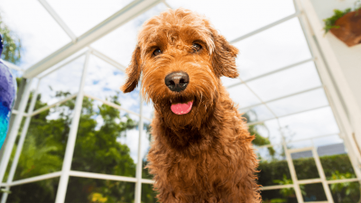 Goldendoodle: Facts And Temperament