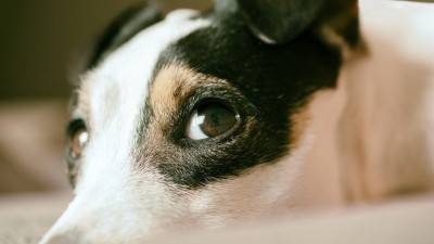 The 7 Jack Russell Terrier Training Tips