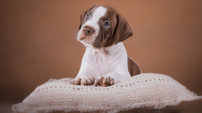 What are the Types of Pit Bulls