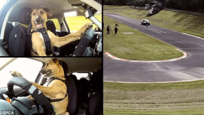 Did You Know Dogs Can Drive?