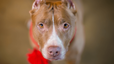 Red Nose Pit Bull - Dangerous Dog or a Family Pet?