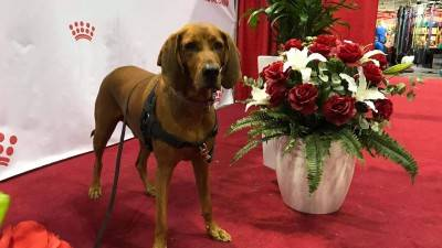 Redbone Coonhounds - 7 Things to Know