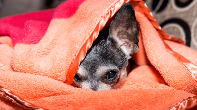 Trazodone for Dogs - Here is What Vets Recommend