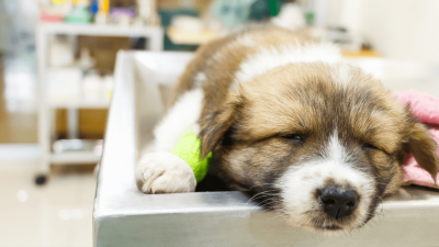 Coccidia In Dogs - All You Need To Know