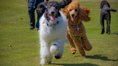 Find Out if the Poodle is the Right Dog For You