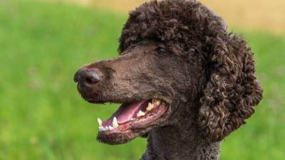 Poodle Rescue Near Me - Where to Adopt a Poodle?