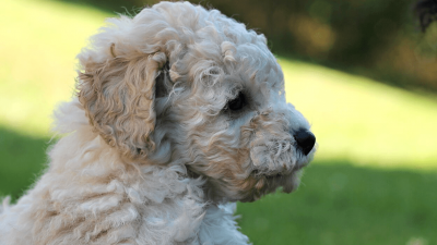 How to Recognize Teacup Poodle