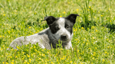 Texas Heeler - Ultimate Farm Dog