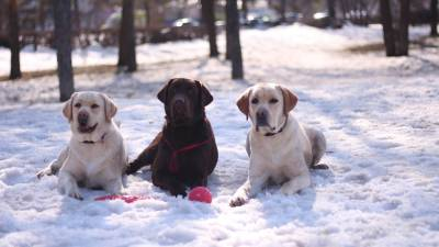 Labrador Retriever - Coat Colors