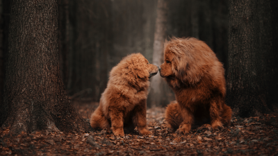 7 Fascinating Tibetan Mastiff Fun Facts