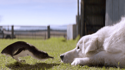 Did You Know Maremma Sheepdogs Saved Penguins?