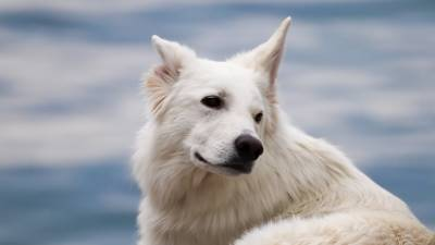 Favorite White Dog Breeds